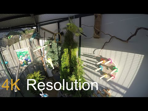 4K UHD - Parakeets in refreshed aviary 2016 - Parkieten in v