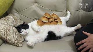 Obese Cat On A Diet Is Making Progress   Kritter Klub