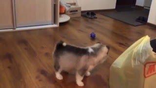 Щенок Сибирская Хаски играет в мяч