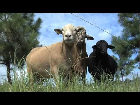 Hair Sheep Being Raised On Lowndes County Farm