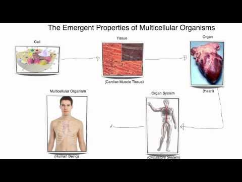 IB Biology 2.1.7 Emergent Properties of Multicellular Organisms