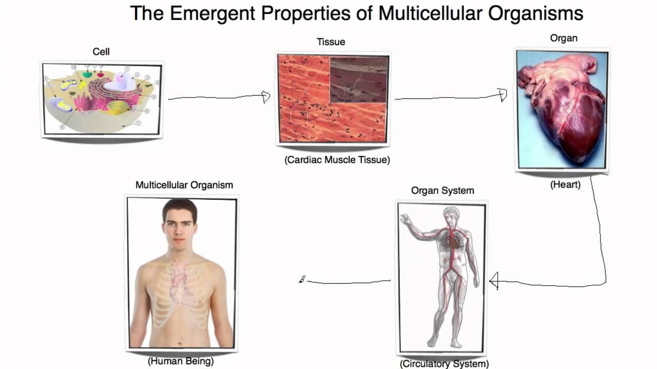 Nice IB Biology 2.1.7 Emergent Properties Of Multicellular Organisms   YouTube
