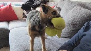 Border terrier Leeloo really wants to play!