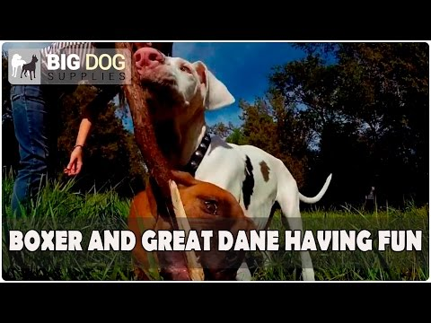 Super Сute Great Dane and Boxer Puppies Going Crazy while Playing