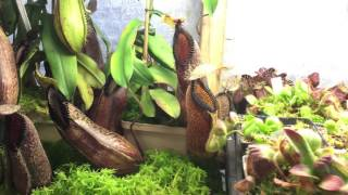 nepenthes hamata tropical pitcher plant update care and culture tips 1080p