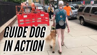 Zenith in Action | Watching my Guide Dog Work