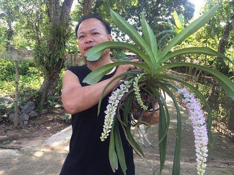 1 cách trồng phong lan đuôi chồn