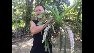 Cách trồng phong lan đuôi chồn. sơn cầm