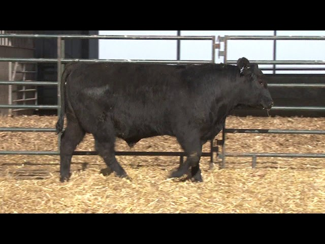 Schiefelbein Angus Farms Lot 32