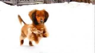 Cute Dachshund Hopping Like A Bunny