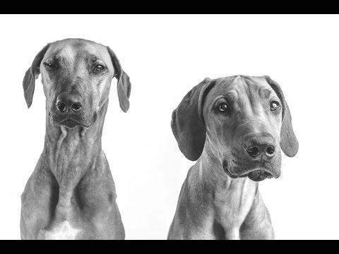 Surviving Rhodesian Ridgeback Puppy Teething