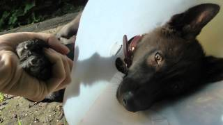 Lorne the Wolfdog recovering from surgery