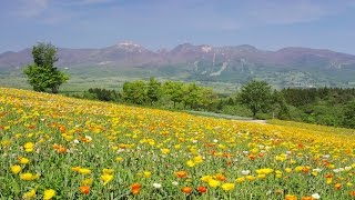 [ 4K Ultra HD ] 那須高原のポピー畑 Poppy flower fields in Nasu Flower World(Shot on RED EPIC) thumbnail