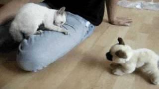 Scared Siamese Kitten...SUPER CUTE!!