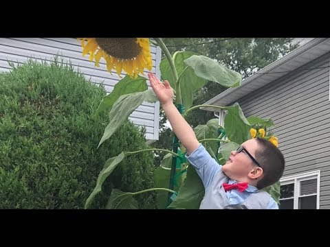 4-year-old grows 'super' sunflowers in honor of his grandma and pop-pop