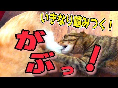 ティガーがロビンに噛みついた!?猫たちの様子がなんかおかしいんだが…