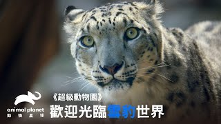 這不是白日夢雪豹懷孕、產檢、出生、健檢大公開動物星球頻道