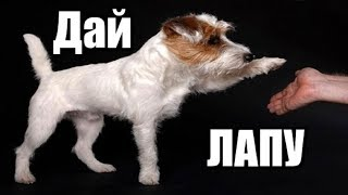 Как научить собаку команде дай лапу. Как обучить собаку команде дай лапу.