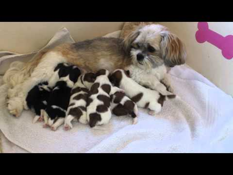 Lhasa apso Penny with her 6 pups cleaning and feeding