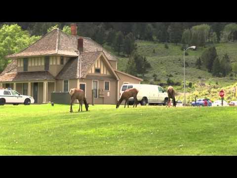 Montana Elk - Yellowstone N Gate