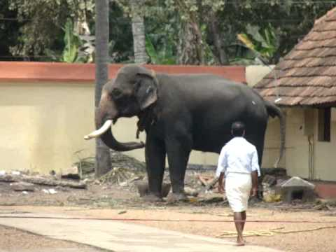 Elephant attack at sree krishna swamy temple mavelikara ...