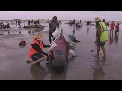 Volunteers race to save 400 stranded pilot whales on New Zea