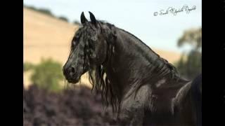 Фризская порода лошадей.