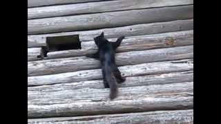 Кот идёт по стене!