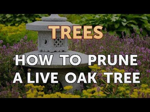 How To Prune A Live Oak Tree