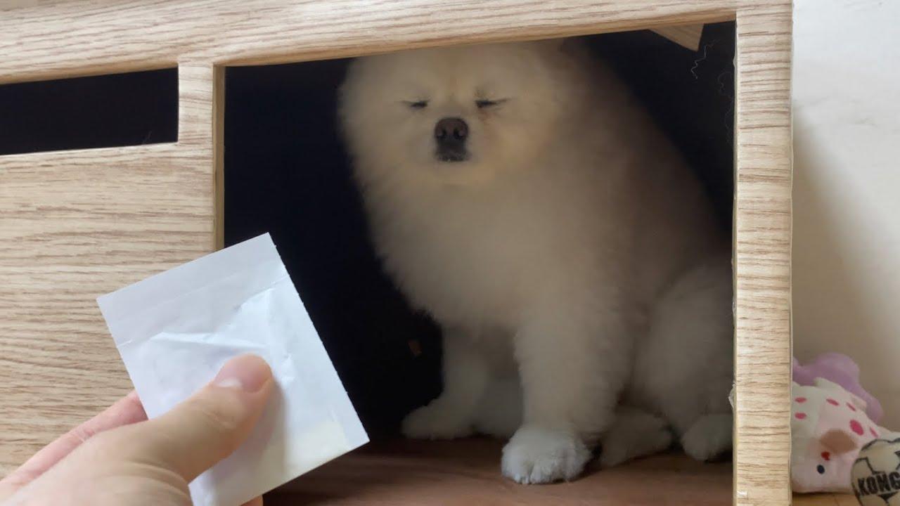 약 먹자고 하면 숨어버리는 강아지 ㅋㅋㅋ