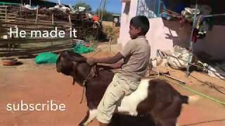 Only for kids - Funny Goat riding
