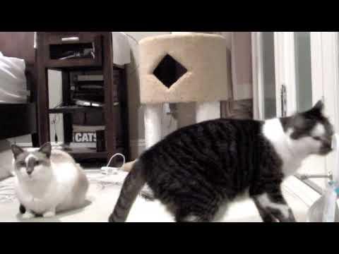 Cat barks like a dog at bubbles