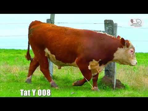 LOTE 11   TAT Y008 TOURO HEREFORD RECULUTA AGROPASTORIL