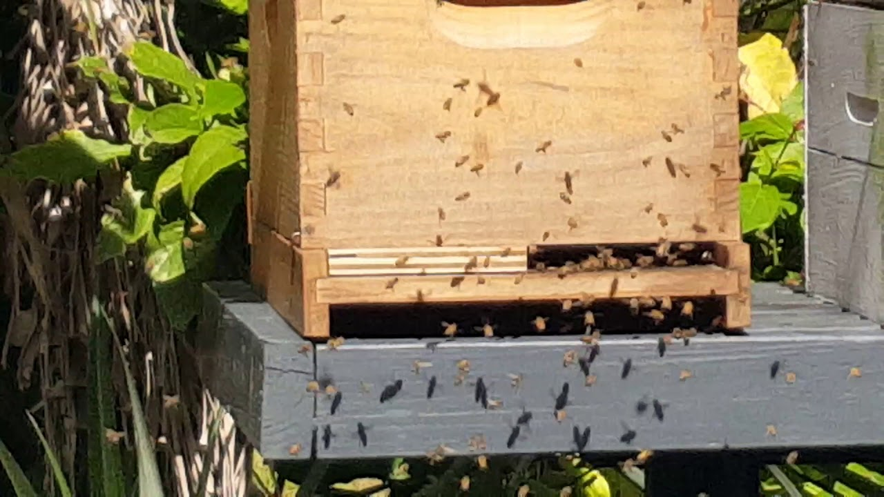 backyard bee hives orientation flight youtube