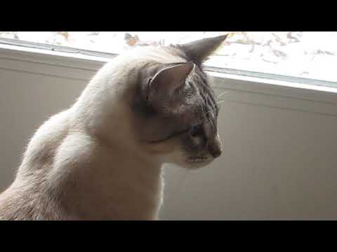 Lynx Point Siamese PRECIOUS chattering at leaves