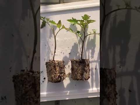 Cimatura del pomodoro