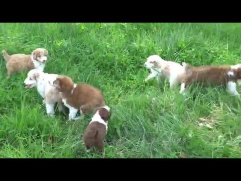 Aussiedoodle puppies - growing up
