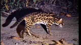 Catopuma Temminckii/Panther and camera traps ( ติดวิทยุเสือไฟ ทุ่งใหญ่นเรศวร)