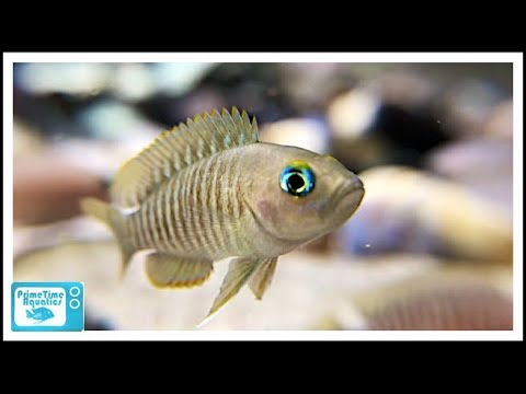 How To Set Up A Shell Dweller Fish Tank: Six Different Species Featured!
