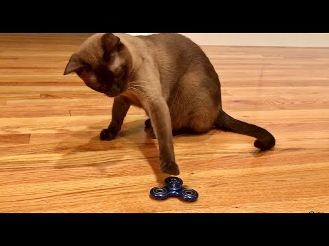 Burmese Cat vs. FIDGET SPINNER!