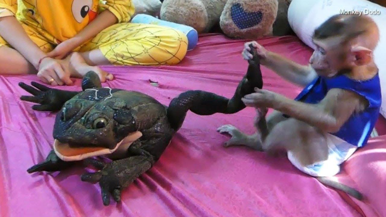 Monkey Baby Dodo Vs Frog, Dodo Very Enjoy With Frog
