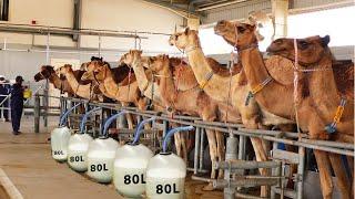 Automatic Camel Milking Technology - Modern Camel Farming -  Amazing Camel Milk Product