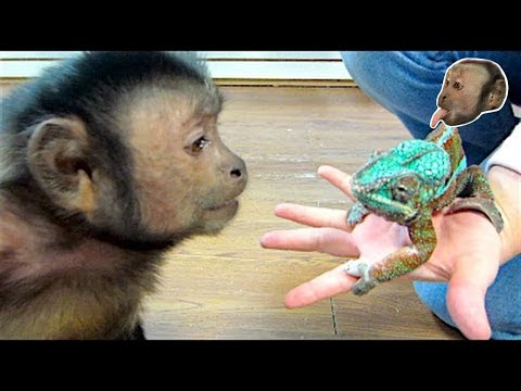 Capuchin Monkey Meets a Panther Chameleon