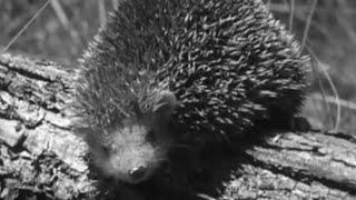 Cutest Animal in the World? - #AttenboroughWeek - Zoo Quest to Madagascar - David Attenborough - BBC