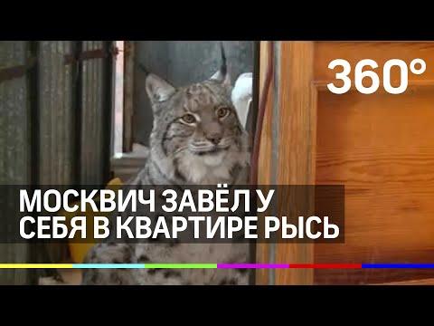 Москвич завел у себя в квартире рысь