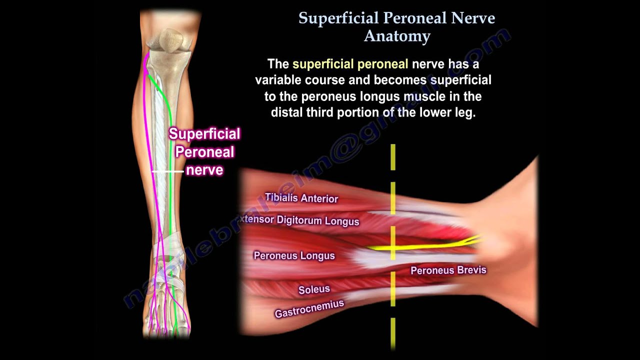 Superficial Peroneal Nerve Anatomy Everything You Need To Know