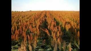 Körnersorghum (Grain Sorghum) im Mostviertel