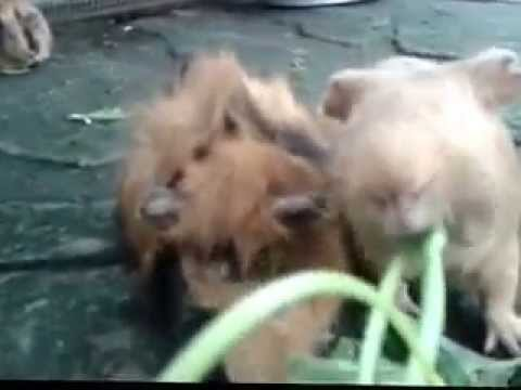 guinea pigs eating kangkong at Farm in the City