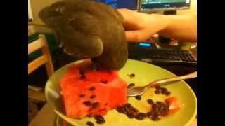 Impudent Pepe the owl and my watermelon.