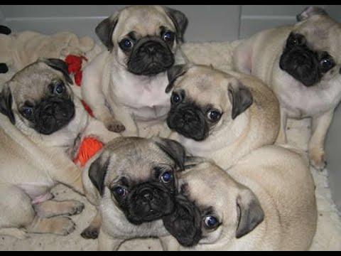 Pug Puppies Dog